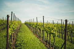 Vineyards in Rhineland Palatinate in early summer Stock Images