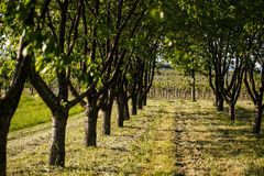 Vineyards in Rhineland Palatinate in early summer Stock Photos