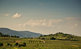 Vineyards in Rhineland Palatinate in early summer Stock Image