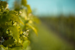 Vineyards in Rhineland Palatinate in early summer Stock Photography