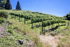 Vineyards in Rio Grande do Sul Stock Images