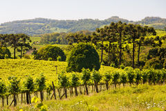 Vineyards in Rio Grande do Sul Royalty Free Stock Photo
