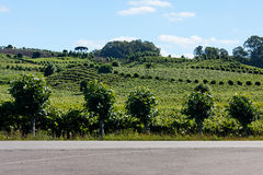 Vineyards in Rio Grande do Sul Stock Image