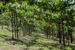 Vineyards in Rio Grande do Sul Royalty Free Stock Photo