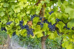 Vineyards with ripe tempranillo grapes on the vine. Ripe black tempranillo grapes on the vine at a vineyard in Spain Stock Photo