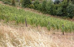 Vineyards, Rochefort sur Loire (Loire Valley, France) Royalty Free Stock Photos