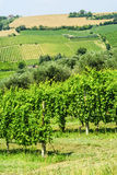Vineyards in Romagna Stock Image