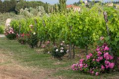 Vineyards and rose: a traditional cultivation method in Chianti. Royalty Free Stock Images