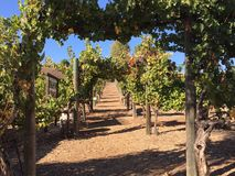 Vineyards and roses, Temecula, CA stock photography