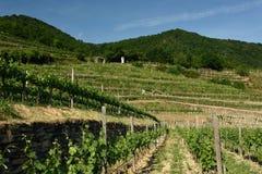 Vineyards, Rotes Tor, Wachau, Austria stock photo