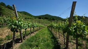 Vineyards, Rotes Tor, Wachau, Austria stock photography