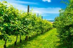 Vineyards row. Veiw of green vineyard's  row Stock Photos