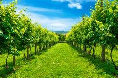 Vineyards row. Veiw of green vineyard's  rows Royalty Free Stock Image