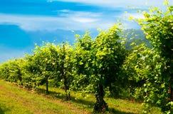 Vineyards row. Veiw of green vineyard's  row Stock Images