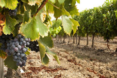 Vineyards in rows. And cluster grapes Royalty Free Stock Photos