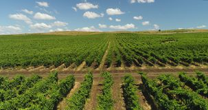 Vineyards rows at agricultural field in the countryside, beautiful agricultural landscape. Aerial drone view