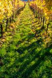 Vineyards rows in the autumn after harvest royalty free stock photo