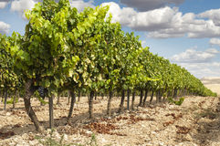 Vineyards in rows and blue sky Royalty Free Stock Photography