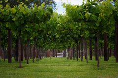 Vineyards rows in spring time. In Australia stock photos