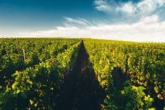 Vineyards In Russia At Dawn. Lefkadia, Krasnodar Region. Picturesque Countryside Landscape royalty free stock photography