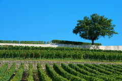 Vineyards of Saint Emilion, Bordeaux Vineyards Royalty Free Stock Images