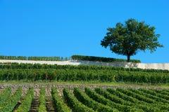 Vineyards of Saint Emilion, Bordeaux Vineyards Royalty Free Stock Images