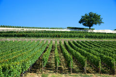 Vineyards of Saint Emilion, Bordeaux Vineyards Stock Photography