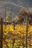 Vineyards in San Antonio de las Minas, Ensenada, Baja california, Mexico royalty free stock images