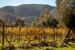 Vineyards in San Antonio de las Minas, Ensenada, Baja california, Mexico stock image