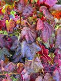 Vineyards at San Paio de Abeleda, Ourense royalty free stock photography