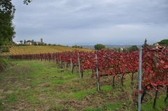 Vineyards for sangiovese San Miniato Tuscany Italy Royalty Free Stock Image