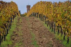 Vineyards for sangiovese San Miniato Tuscany Italy stock photography