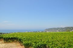 Vineyards on the sea Ischia Italy stock photos