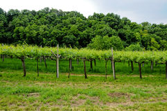 Vineyards situated in Valpolicella which produces Amarone. Vineyards situated in Valpolicella which produces ,Amarone royalty free stock photos