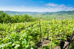 Vineyards from Soave.Italian wine. Stock Image
