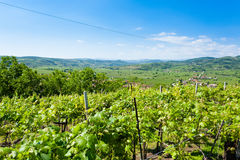 Vineyards from Soave.Italian wine. Stock Photos
