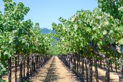 Vineyards at Sonoma valley. Sonoma valley is world renowned for its wineries stock photography