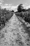 Vineyards at Sonoma valley. Sonoma valley is world renowned for its wineries stock photos