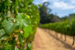 Vineyards at Sonoma valley. Sonoma valley is world renowned for its wineries royalty free stock photo