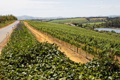 Vineyards in South Africa Stock Photography