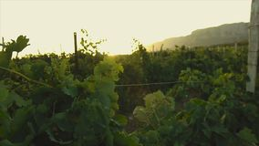 Vineyards in the south of Europe at sunset in the countryside. Mountains are visible on the horizon stock video footage