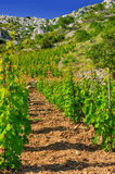 Vineyards, southern coast of Hvar island Royalty Free Stock Images