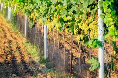 Vineyards in the Southern Moravia Stock Photos