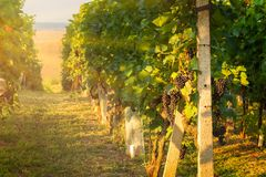 Vineyards in the Southern Moravia Royalty Free Stock Photo