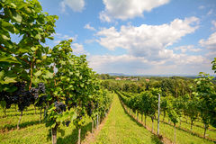 Vineyards in Southern Styria near Gamlitz before harvest, Austria Royalty Free Stock Photography