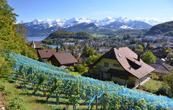 Vineyards in Spiez, Switzerland stock photos