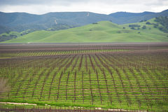 Vineyards in the spring Royalty Free Stock Photos