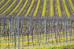 Vineyards in spring. Vineyards in Germany in spring time Stock Photography
