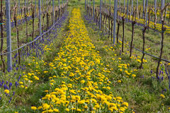 Vineyards in spring. With blooming dandelion Stock Photo