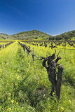 Vineyards in Spring Royalty Free Stock Photography